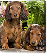 Long-haired Dachshunds Acrylic Print