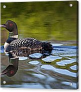 Long Lake Loon Acrylic Print