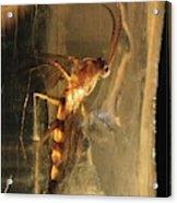 Long-legged Fly In Amber Acrylic Print