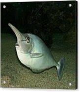 Long Nose Fish Acrylic Print