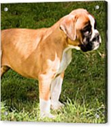 long tailed Boxer Puppy in the sun Acrylic Print