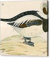 Long Tailed Duck Acrylic Print