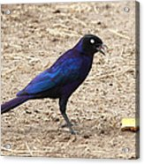 Long Tailed Glossy Starling  Acrylic Print