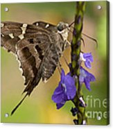 Long-tailed Skipper Photo Acrylic Print