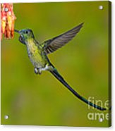 Long-tailed Sylph Acrylic Print