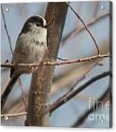 Long-tailed Tit Perched On Twig Acrylic Print