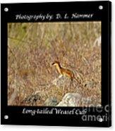 Long-tailed Weasel Cub Acrylic Print