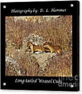 Long-tailed Weasel Cubs Acrylic Print