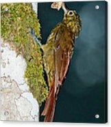 Long-tailed Woodcreeper Acrylic Print