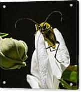 Longhorn Beetle Feeding Acrylic Print