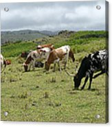 Longhorn Cattle Acrylic Print