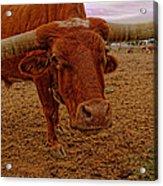 Longhorn Portrait Acrylic Print