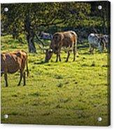 Longhorn Steer Herd In A Pasture Acrylic Print