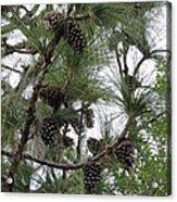 Longleaf Pine Cones Acrylic Print