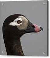 Longtailed Duck Acrylic Print