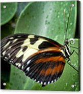 Longwing Butterfly Acrylic Print