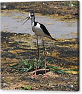 Look Out For That Egret- Mother Stilt Said Acrylic Print