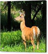 Looking At The Fawnns Acrylic Print