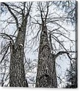 Looking At Tree Tops After A Winter Snow Storm Acrylic Print