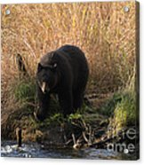 Looking For A Meal Acrylic Print