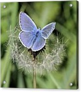 Looking For Nectar In All The Wrong Places Acrylic Print