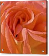 Looking Good Rose Acrylic Print