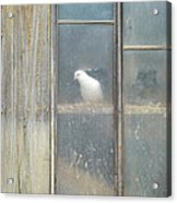 Looking Out The Coop Acrylic Print