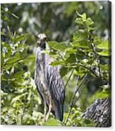Looking Right At You Acrylic Print