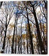 Looking Skyward Into Autumn Trees Acrylic Print