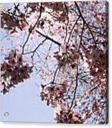 Looking Through Cherry Blossoms Acrylic Print