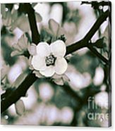 Looking Through The Blossoms 2 By Kaye Menner Acrylic Print