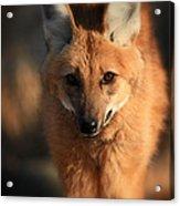 Looks Like A Fox Acrylic Print