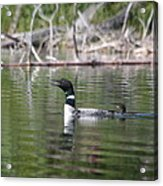 Loon And Baby Acrylic Print