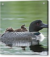 Loon Chick - Big Yawn Acrylic Print