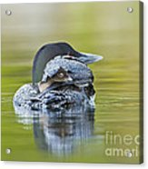 Loon Chick- Feather Hat Acrylic Print
