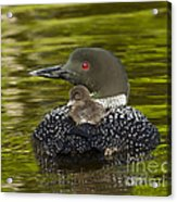 Loon Chick Rides On A Parents Back Acrylic Print