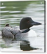 Loon Chick Rise And Shine Acrylic Print