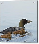 Loon Chicks Cruising With Mom Acrylic Print