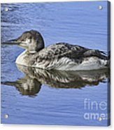 Loon On Vacation Acrylic Print