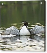 Loon Wing Spread - Drying Off Acrylic Print
