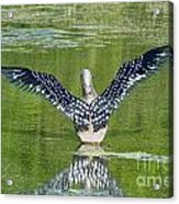 Loon Wings Acrylic Print