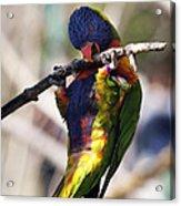 Lorikeet Bird Acrylic Print