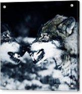 Los Lobos Acrylic Print