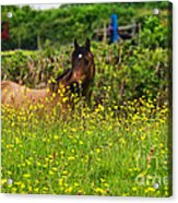 Lost In Buttercups Acrylic Print
