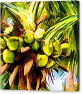 Lots Of Coconuts Acrylic Print