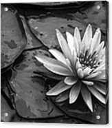 Lotus 2 Acrylic Print