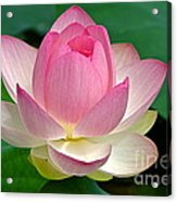 Lotus 7152010 Acrylic Print