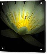 Lotus And Bee Acrylic Print