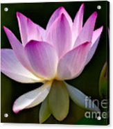 Lotus And Buds Acrylic Print by Susan Candelario