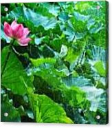 Lotus Bloom  Acrylic Print